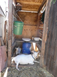 Oops, it's a little crowded in there. Novella milks her goats and makes chevre.